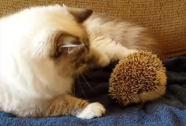 ラグドールの猫とハリネズミ1