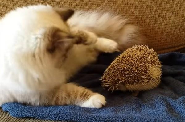 ラグドールの猫とハリネズミ2