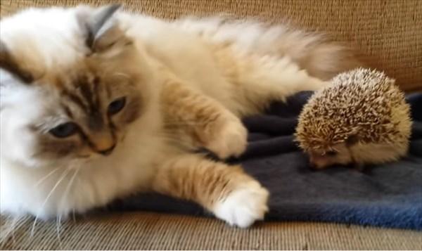 ラグドールの猫とハリネズミ3