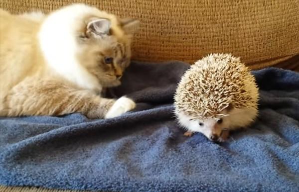ラグドールの猫とハリネズミ6