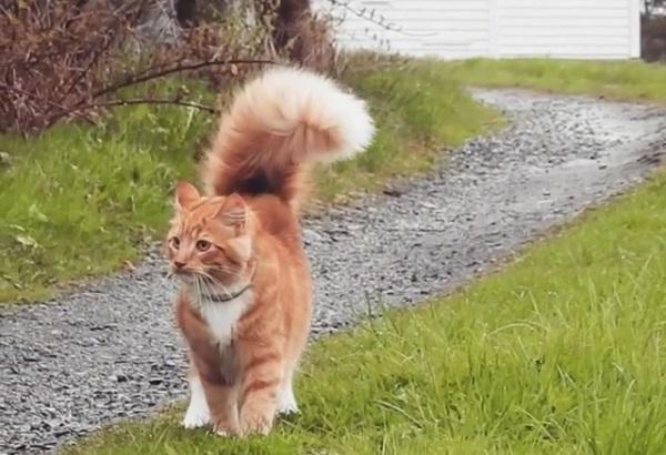 チャームポイントはふわふわのしっぽ 猫