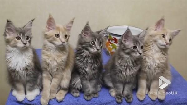シンクロするメインクーンの子猫 画像2