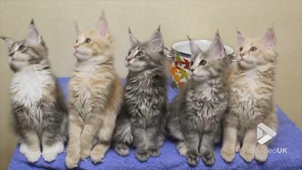 シンクロするメインクーンの子猫 画像3