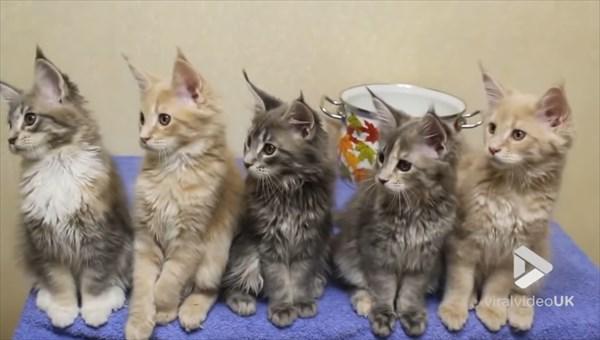 シンクロするメインクーンの子猫 画像4