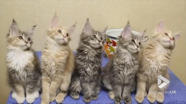 シンクロするメインクーンの子猫 画像5