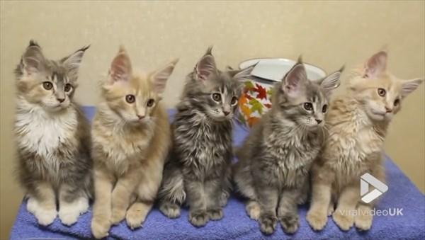 シンクロするメインクーンの子猫 画像6