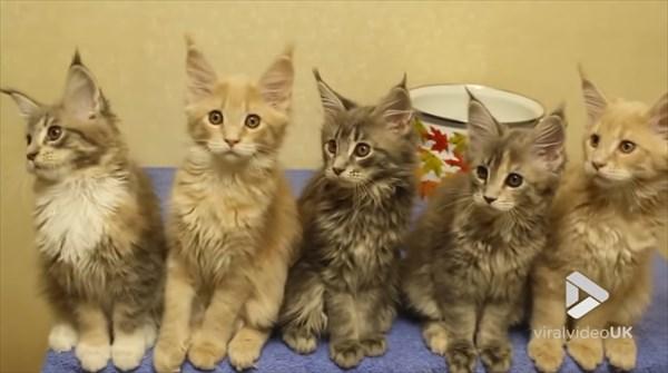 シンクロするメインクーンの子猫 画像7