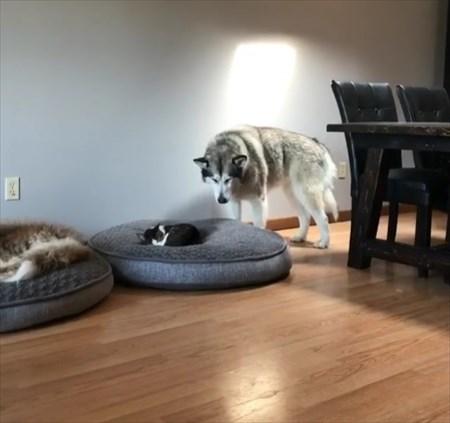 猫に寝所を取られた犬の優しい行動1
