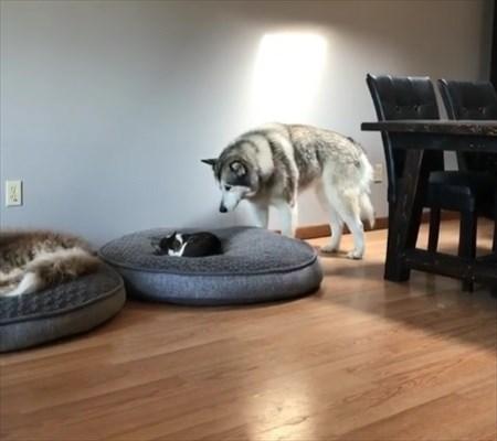 猫に寝所を取られた犬の優しい行動2
