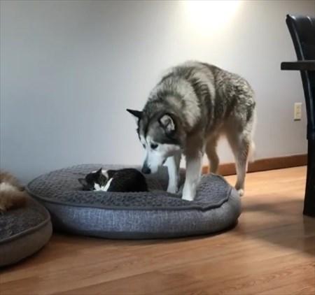 猫に寝所を取られた犬の優しい行動3