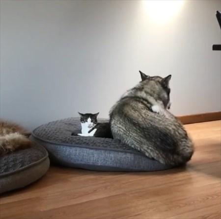 猫に寝所を取られた犬の優しい行動4