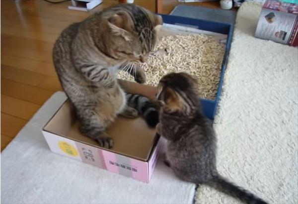 ゆっくりしたいパパ猫と遊んで欲しい子猫の親子喧嘩 1