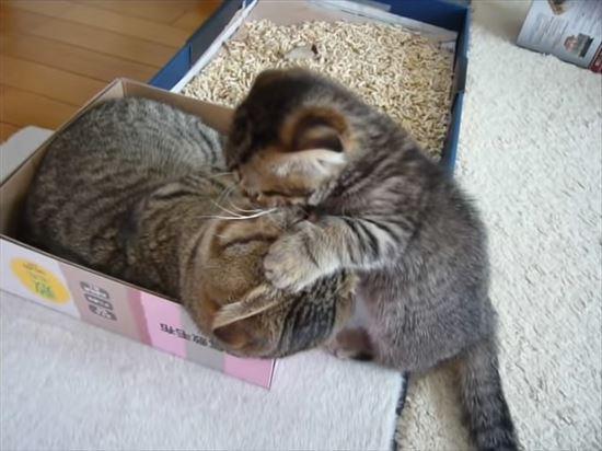 ゆっくりしたいパパ猫と遊んで欲しい子猫の親子喧嘩 2