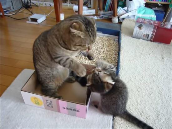 ゆっくりしたいパパ猫と遊んで欲しい子猫の親子喧嘩 7
