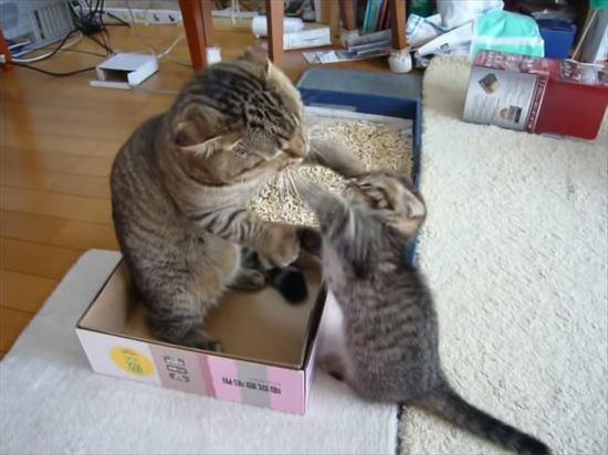 ゆっくりしたいパパ猫と遊んで欲しい子猫の親子喧嘩 8
