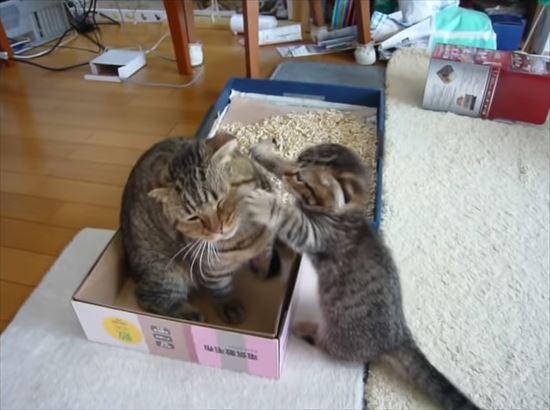 ゆっくりしたいパパ猫と遊んで欲しい子猫の親子喧嘩 9