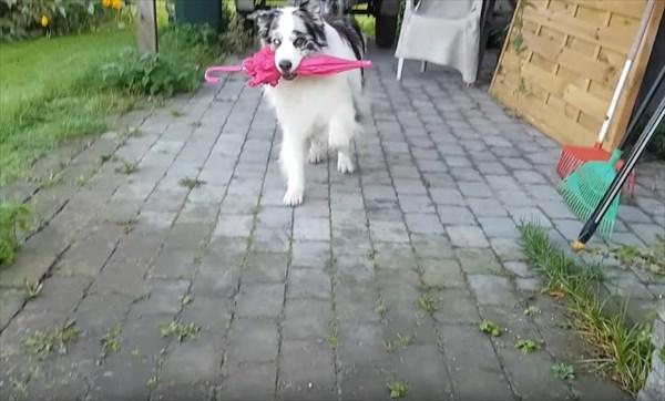 オーストラリアン・シェパード スキップができる犬3