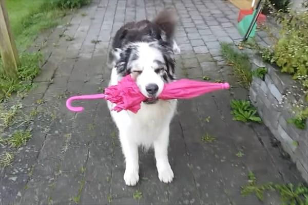 オーストラリアン・シェパード スキップができる犬4