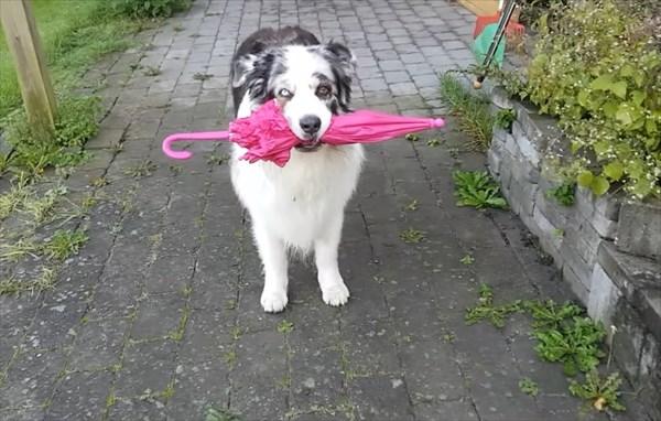オーストラリアン・シェパード スキップができる犬5