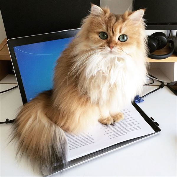 モフモフしたくなる猫の写真や動画3