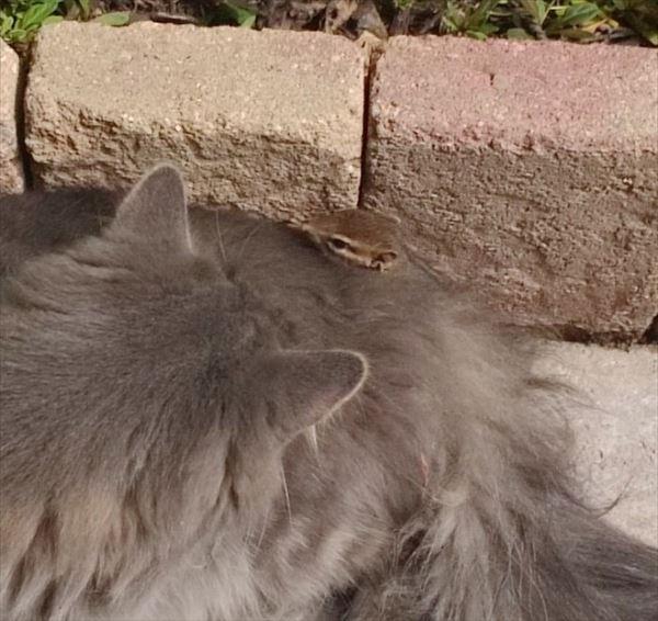 猫とシマリス友達に 写真5