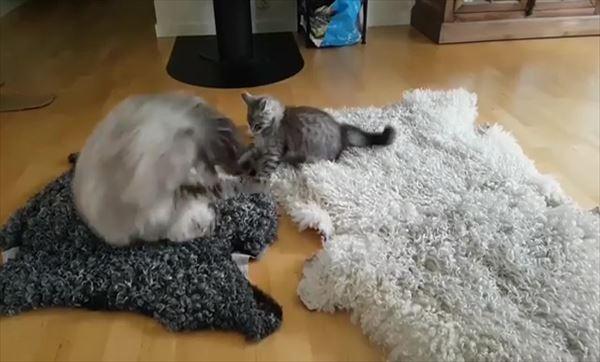 子猫を挑発する大人猫の動きが面白い 2