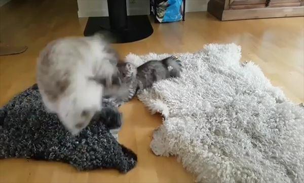 子猫を挑発する大人猫の動きが面白い 3