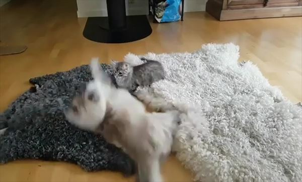 子猫を挑発する大人猫の動きが面白い 4
