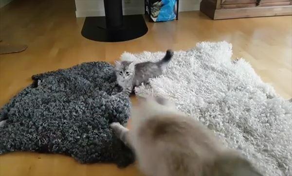 子猫を挑発する大人猫の動きが面白い 5