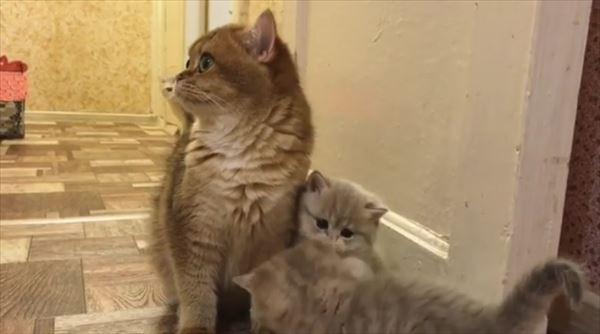 ママの取り合いをする可愛い子猫たち 画像4