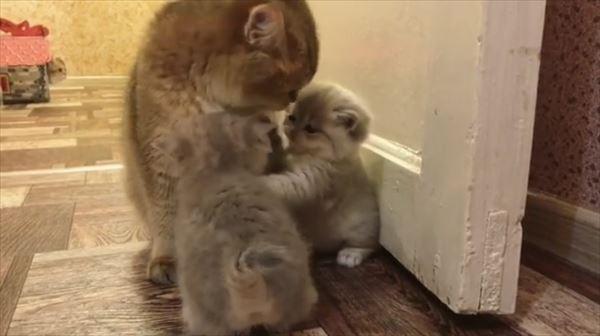 ママの取り合いをする可愛い子猫たち 画像5