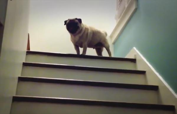 リズミカルに階段を上っていくパグ