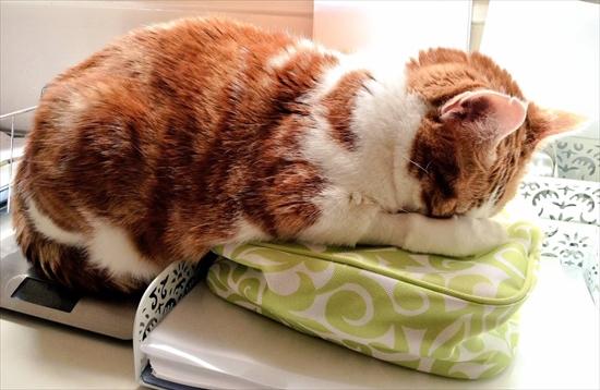 動物病院が嫌いな猫 写真14