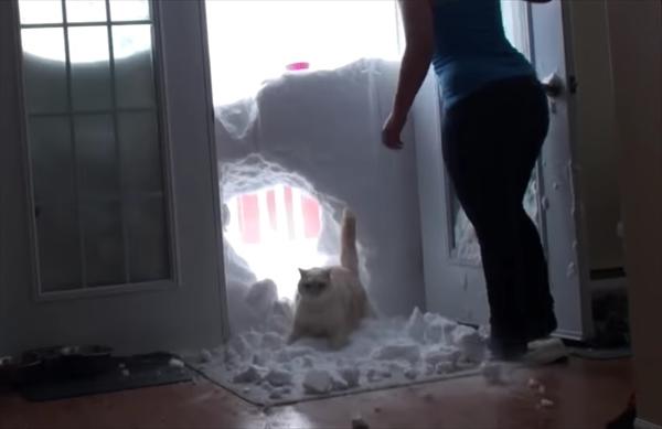 大胆にも雪壁を突き破って帰ってきた猫