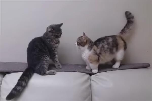 マンチカンの喧嘩が可愛すぎる 画像2