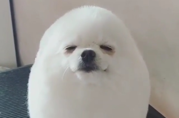 丸くトリミングされた犬がアザラシみたいで可愛い