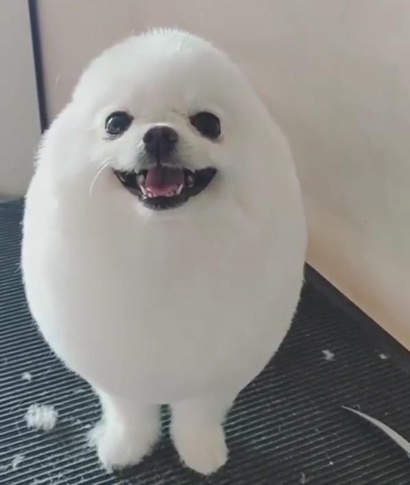 丸くトリミングされた犬がアザラシみたいで可愛い 3