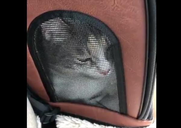 動物病院に連れて行く際に、不思議な鳴き声をする猫ちゃんが話題に
