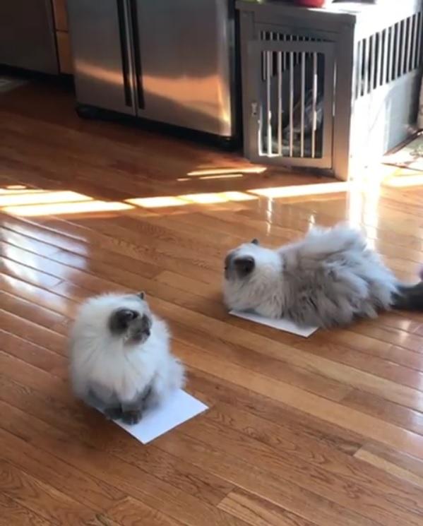 2匹の猫の前に紙を2枚置いてみたら…紙の上に乗った!3