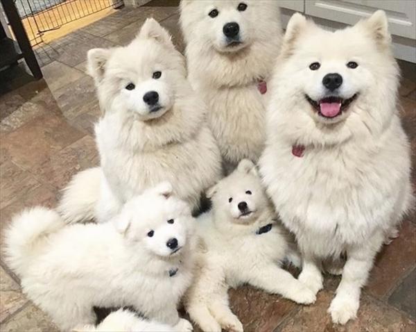 サモエドの家族写真