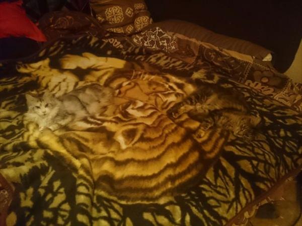 カーペットに同化した猫 画像2