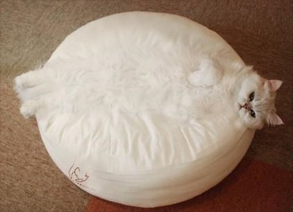 クッションに同化した白猫 画像