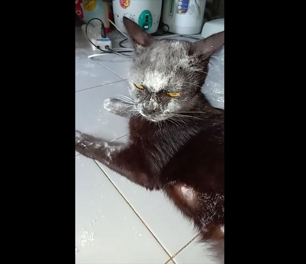 おやつと思ったら・・・小麦粉の袋を破いてしまい顔が真っ白になった黒猫さん 画像2