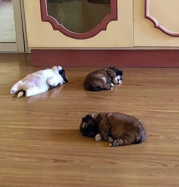 生まれつき仰向けで眠るシーズー犬 画像