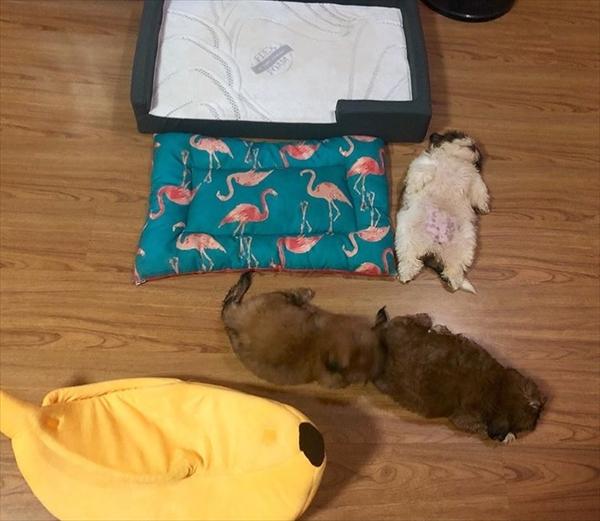 仰向けになって眠る可愛いシーズー犬 画像