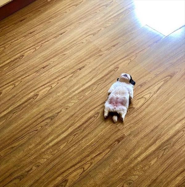 ヘソ天 シーズー犬 画像