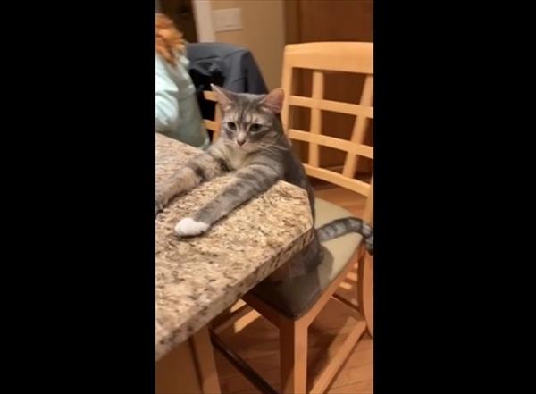 「まだかにゃ~」行儀よく食卓でご飯を待っている猫のブーツさん 画像1