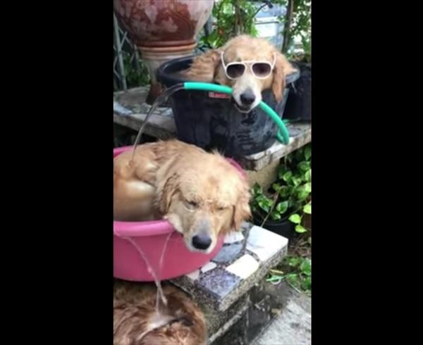 「今年も暑いワン・・・」タライプールで涼む3匹のゴールデンレトリバー 画像2